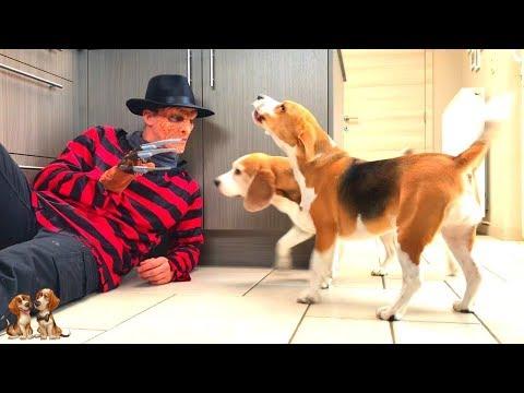 Dogs Vs Freddy Krueger Prank : Cute Dogs Louie & Marie The Beagles