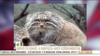 Hihetetlen a hasonlóság: Magyarországon találták meg Garfield hasonmását