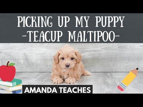 I Got a Puppy! Teacup Maltipoo Taking My Puppy Home from the Airport! Premier Pups Teacup Maltipoo