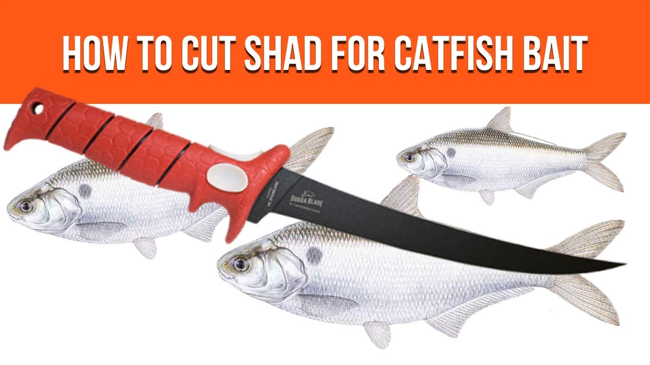 Cut Shad - How To Cut Shad For Catfish Bait