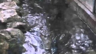 ガビアルモドキのガイド&給餌