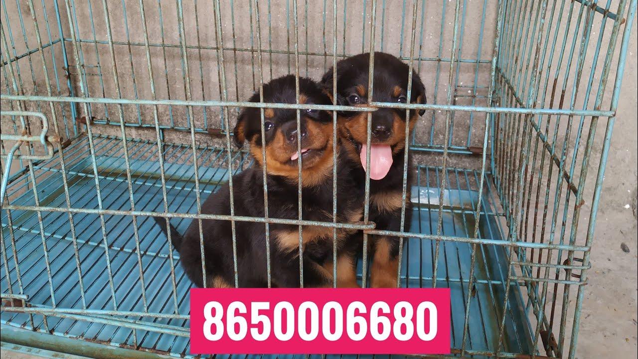 Pet Care Rottweiler Dog For Sale Puppies For Sale In Dehradun Mumbai Delhi Surat Vadodara Patna Youtube
