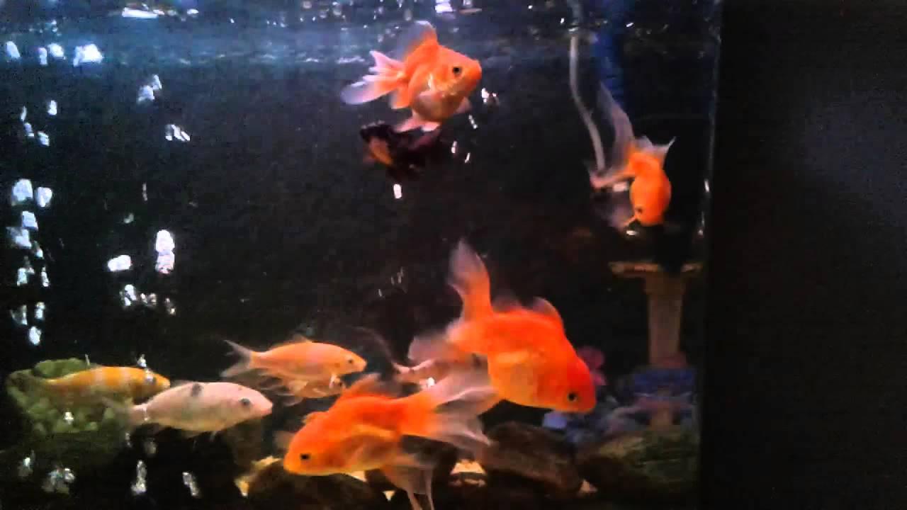 Aquarium fish tank sri lanka - Fish Tank With Goldfish And Carps Sri Lankan