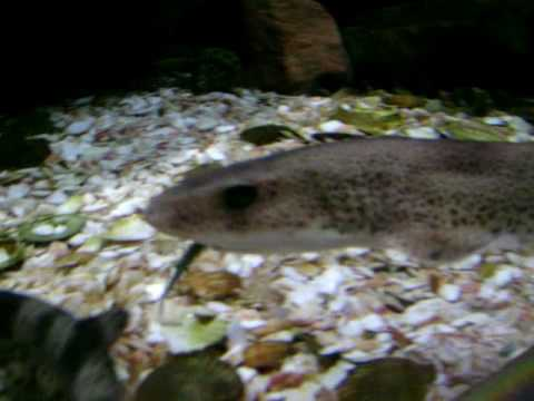 Lesser-spotted Dogfish Feeding