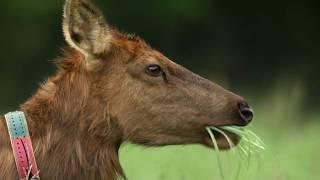Discover Elk in the Missouri Ozarks