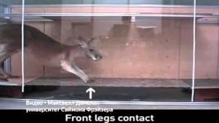 Учёные раскрыли секрет хвоста кенгуру (новости) http://9kommentariev.ru/