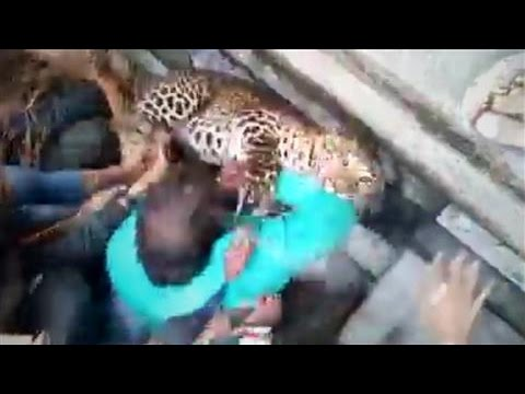 Wild Leopard Causes Chaos in India