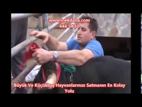 Otomobil Fiyatına ! Samsun'da 35 Bin TL'lik Kurbanlık   1 5 Tonluk 'Karadayı' Adlı Boğa !
