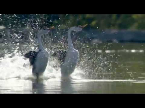 Dancing (Love) Ducks - Most Beautiful Dance by Birds