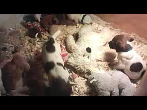 Idaho Hunting Dogs-German Shorthaired Pointer Pups