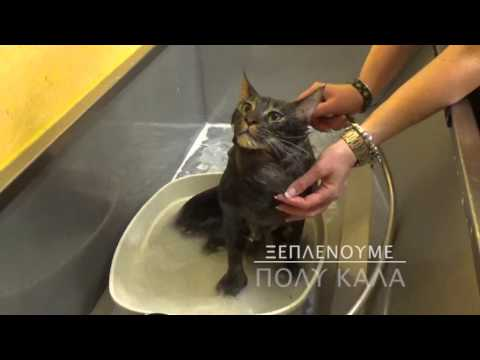 Special One Maine Coon Cat Grooming