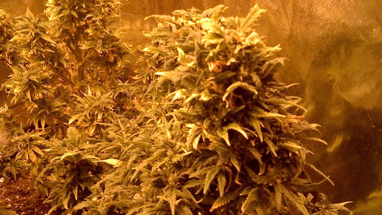 Cannabis m39 rive sud de mtl biatch production youtube for Croissance cannabis interieur