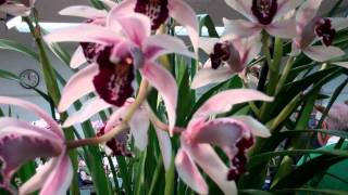 2011 Peninsula Orchid Society Show and Sale, Video #2
