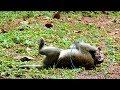 Baby MALTREATeD Baby Monkey ST1307 Mono Monkey