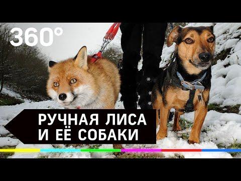 Ручная лиса - Алиса известная как Ли Сяо живет с собаками в Подмосковье
