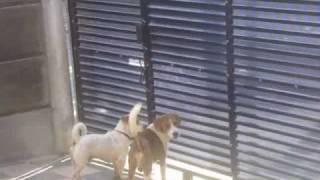Kupan-bali Beagle Escape.wmv