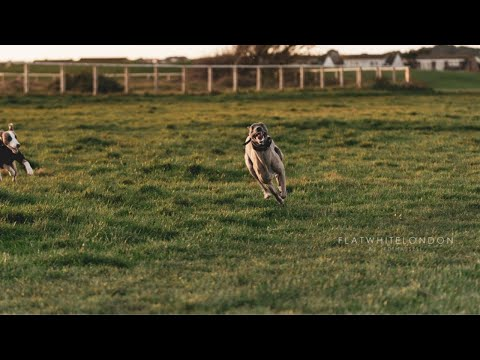 Whippet VS Saluki! Fun and games on the field