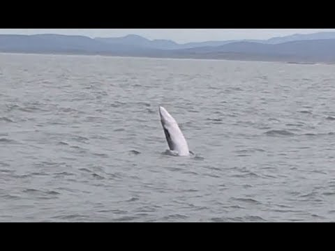 Extremely rare sighting, Bryde's Whale ..mother and breaching calf!