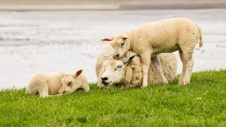 Texel 2018, Schafe und Mee(h)r