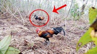 Berhasil Jerat Ayam Hutan Merah di Sebuah Kebun Singkong !!!