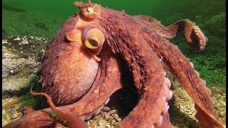 Une pieuvre super-intelligente vole un crabe à un pêcheur - ZAPPING SAUVAGE