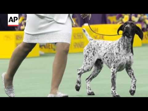 CJ The German Shorthaired Pointer Wins Westminster Best In Show