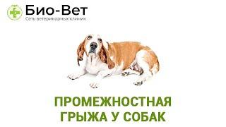 Промежностная грыжа у собак. Ветеринарная клиника Био-Вет.