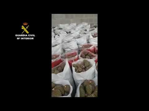 Intervienen 14 toneladas de piñas piñoneras recogidas ilegalmente