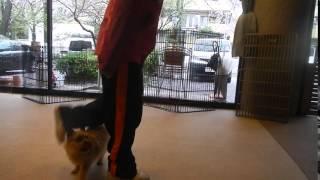 ドッグナーサリーに登園しているレオン君。 股くぐり歩きの練習をしてい...