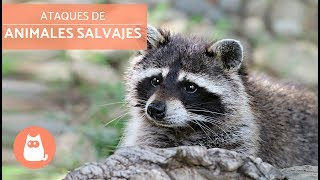 Ataques de animales salvajes - Wild Animal Attacks