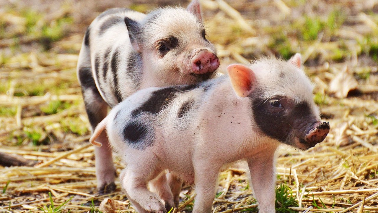 Little pigs - Cute baby pig Funny Animals Video ...