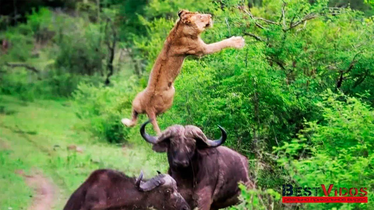 Посмотреть про буйволов, как вгонять шары в член фото и видео