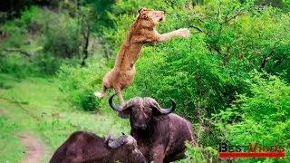 2 миллиона просмотров за 2 дня • Буйвол против льва(Заработай $593 за пол часа ➨ http://money-options.biz Оказывается, лев и не такой уж царь зверей. Особенно, когда у него..., 2014-01-20T08:21:35.000Z)