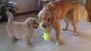 Golden Retriever Dog Gets a Baby Brother