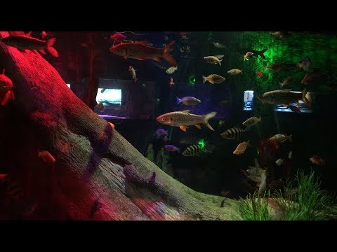Tilapia, Ray Finned Fish And Some Colorful Fishes - Mix Freshwater Aquarium