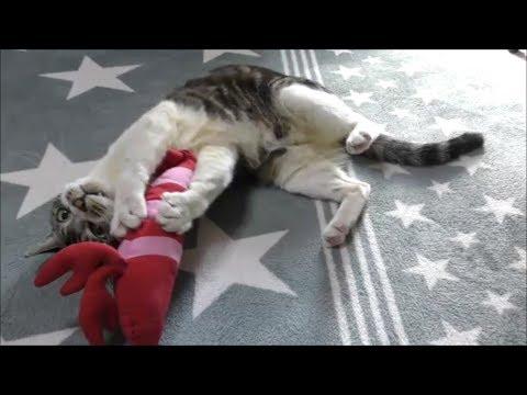パパが居ないと荒れる猫リキちゃん☆エビを蹴り倒し、袋もボコボコに!!でもパパが帰ってくると一気に甘えん坊赤ちゃん状態w【リキちゃんねる 猫動画】Cat video キジトラ猫との暮らし