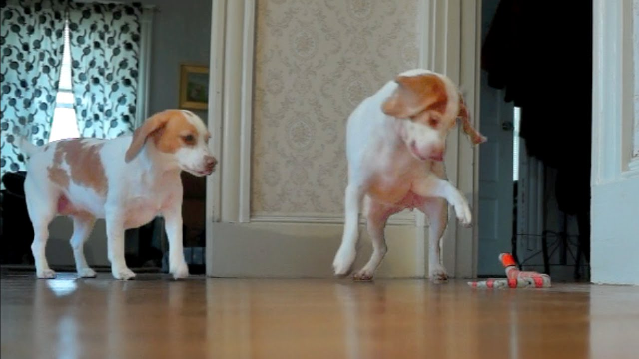 Must see Video Beagle Adorable Dog - maxresdefault  Gallery_708275  .jpg