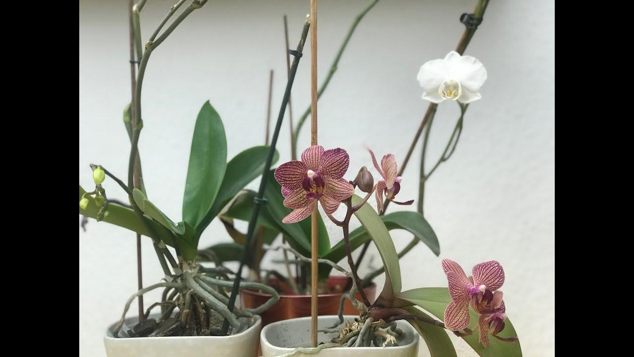 Brutal aber effektiv, Orchideen Wurzeln richtig kürzen (retten) und  umtopfen, 2 Beispiele