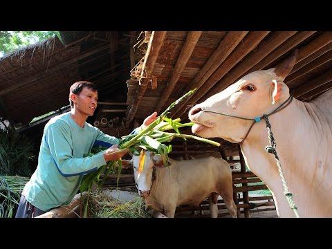 สูตรน้ำหมักสมุนไพรบำรุงวัวควาย