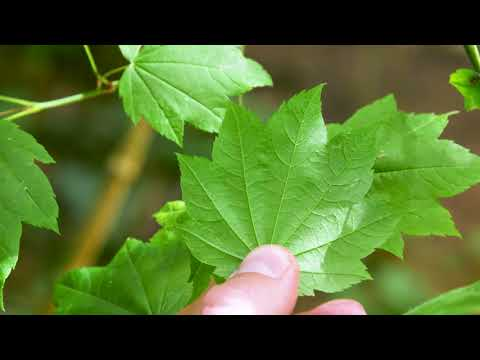 vine maple - Acer circinatum. Identification and characteristics