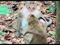 Baby Monkey Cry Because Tara Not Let Go Back To Momi - BBlover 110