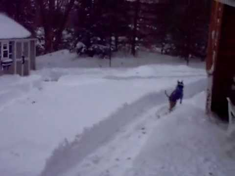Pit Bull gets snow zoomies