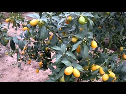 فاكهة الكمكوات في مرحلة الإنتاج - الكويت - Gulf Plants