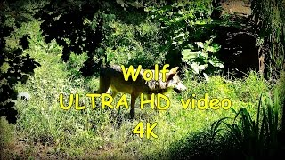 Eurasian Wolf Wilk Canis Lupus Lupus  - Zoo In Opole - Ultra Hd Video 4k