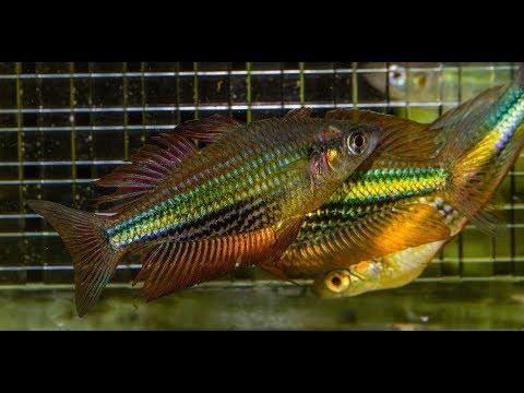 Saving the Running River Rainbowfish
