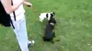 When Sisy (french Bulldog) Meets A Cocker Spaniel