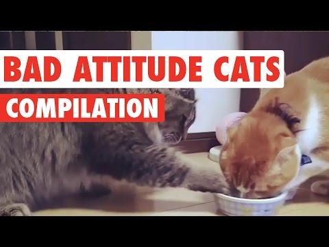 Bad Attitude Cats Video Compilation 2016