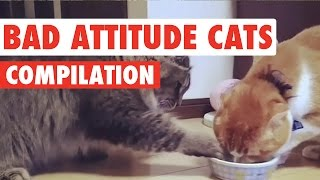 Bad Attitude Cats Video Compilation 2016