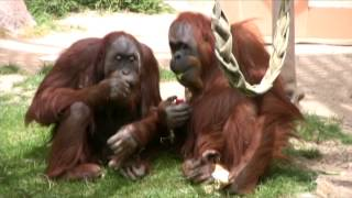 Sumatran Orangutans Eating Exotic Fruits