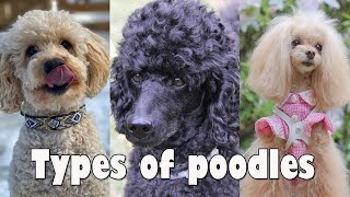 4 Types of Poodle Dog breeds | That are popular today  Types of poodles